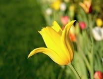 Gele tulpenclose-up Royalty-vrije Stock Afbeeldingen