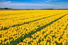 Gele tulpengebieden met een moderne windmolen Stock Foto's