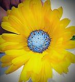 Gele uitgegeven bloem Stock Fotografie