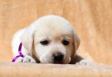 Gele van het het puppyportret van Labrador dichte omhooggaand Royalty-vrije Stock Afbeeldingen