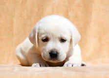Gele van het het puppyportret van Labrador dichte omhooggaand Stock Afbeeldingen