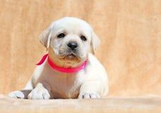 Gele van het het puppyportret van Labrador dichte omhooggaand Royalty-vrije Stock Foto