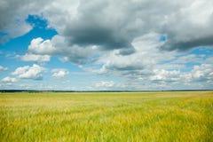 Gele verkrachtingenbloemen op het gebied en de blauwe hemel met wolken Stock Afbeeldingen