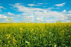 Gele verkrachtingenbloemen op het gebied en de blauwe hemel met wolken royalty-vrije stock foto's