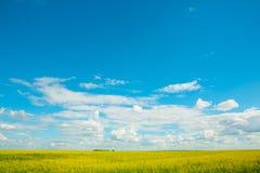 Gele verkrachtingenbloemen op het gebied en de blauwe hemel met wolken stock fotografie