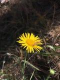 Gele verse bloem Stock Afbeeldingen