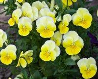 Gele viooltjebloemen Stock Foto's