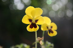 Gele viooltjes in de zonnestraal Royalty-vrije Stock Afbeelding