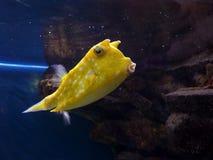 Gele vissen Royalty-vrije Stock Afbeeldingen