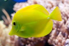 Gele Vissen Stock Fotografie