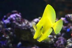 Gele vissen Royalty-vrije Stock Afbeelding
