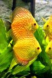 Gele vissen in aquariumtank Stock Fotografie