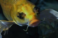 Gele vissen in het water Stock Fotografie