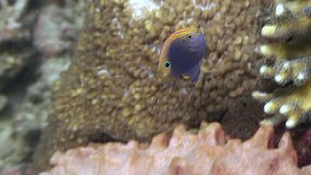Gele vissen in koraal op zoek naar voedsel in oceaan van het wild Filippijnen stock videobeelden