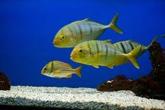 Gele vissen met zwarte strepen Stock Afbeeldingen