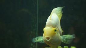 Gele vissen van Cichlasoma-papegaai in aquarium stock video