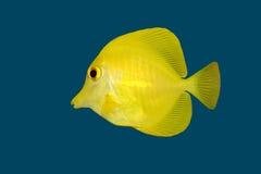 Gele vissen (Zweempje) op blauw royalty-vrije stock foto's