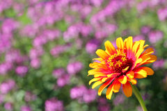 Gele Vlam Zinnia Flower Background Royalty-vrije Stock Afbeelding