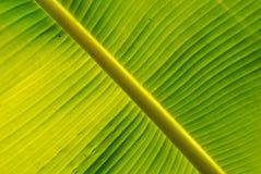Gele vlekkenbanaan Royalty-vrije Stock Afbeelding