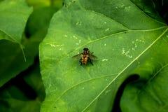 Gele vliegen op bladeren Stock Afbeelding