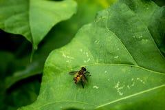Gele vliegen op bladeren Royalty-vrije Stock Afbeelding