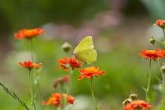 Gele vlinder. Royalty-vrije Stock Afbeeldingen