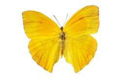 Gele vlinder Royalty-vrije Stock Foto's