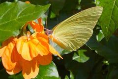Gele Vlinder Royalty-vrije Stock Afbeeldingen