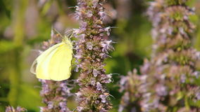 Gele Vlinder stock videobeelden