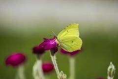 gele Vlinder royalty-vrije stock foto