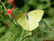 gele Vlinder Royalty-vrije Stock Afbeelding