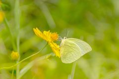 Gele vlinder die en nectar op gele kosmos F vliegen verzamelen Stock Fotografie