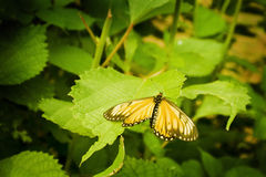Gele vlinder die op een blad rust Stock Foto