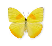 Gele vlinder die op wit wordt geïsoleerde Stock Foto