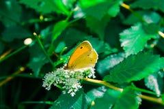Gele vlinder op bloem royalty-vrije stock foto's