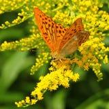 Gele vlinder op een gele bloem Stock Foto's