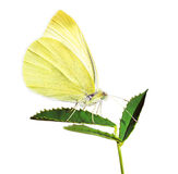 Gele vlinder op het blad Stock Foto