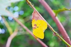 Gele vlinder op nest Stock Afbeelding