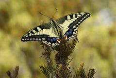 Gele Vlinder op Takje Royalty-vrije Stock Foto