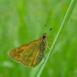 Gele vlinderclose-up royalty-vrije stock fotografie