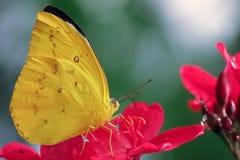Gele vlinderpieridae royalty-vrije stock afbeeldingen