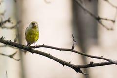 gele vogel Royalty-vrije Stock Afbeeldingen