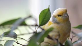 Gele Vogel bij het Vogelhuis van Vogelkindgom in Niagara-Dalingen, Canada versie-2 royalty-vrije stock afbeeldingen