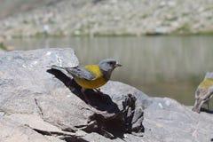 Gele vogel ongeveer om te vliegen stock fotografie
