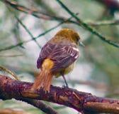 Gele vogel op een tak stock foto