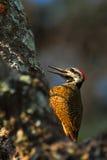 Gele vogels Gebaarde Specht, Dendropicos-namaquus, het Nationale Park van Chobe, Botswana Specht op de boom Het wildscène van Stock Fotografie
