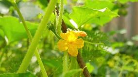 Gele vrouwelijke bloem van komkommer in gebiedsinstallatie stock videobeelden