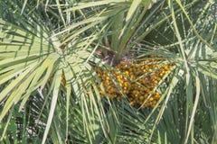 Gele vruchten op een boomtak Palmtak met gele ronde kleine bessen royalty-vrije stock fotografie