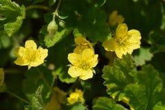 Gele waldsteiniabloemen Royalty-vrije Stock Foto's