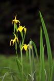 Gele wateriris Stock Afbeeldingen